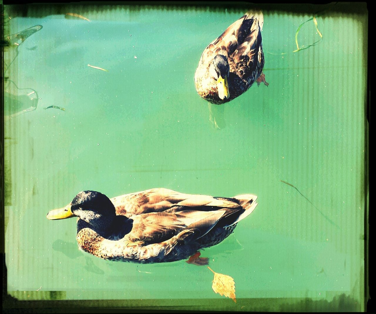 animal themes, animals in the wild, bird, lake, water, duck, swimming, day, nature, one animal, animal wildlife, no people, outdoors, close-up