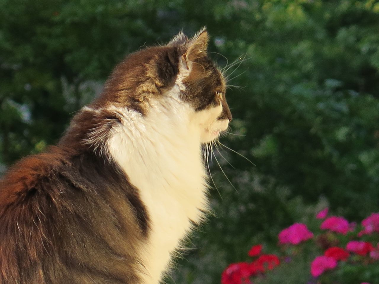 one animal, domestic cat, animal themes, domestic animals, mammal, feline, pets, no people, focus on foreground, whisker, day, side view, plant, outdoors, nature, close-up, siamese cat