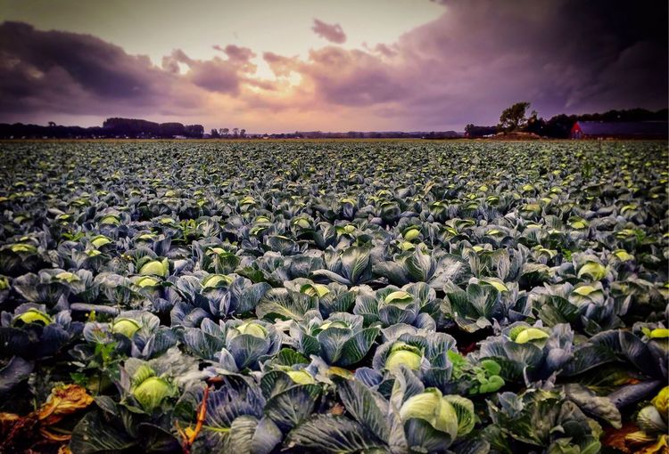 --White cabbage-- Cabbage Cabbages Agriculture Nature Growth Field Sky Landscape Rural Scene Scenics Outdoors