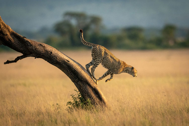 Side view of cheetah jumping on land