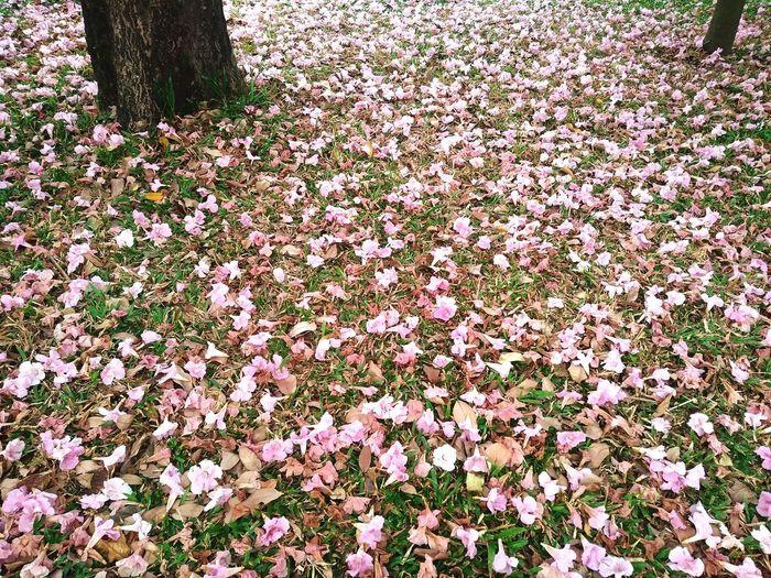 Pink carpet Yard Nature Pink Season  Pink Trumpet Tree Ground Mobile Photography Tree Flower Leaf Plant Life Falling Botany