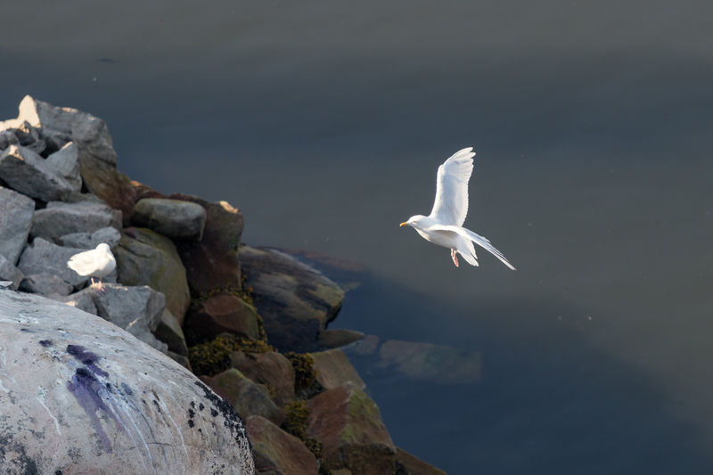 An iceland gulls -larus glaucoides, landing at the port of ilulissat, greenland.