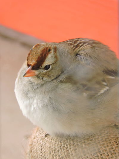 female White-crowned Sparrow all fluffed against the cold. Animal Themes Animal Wildlife Animals In The Wild Bird Close-up Day Focus On Foreground Mourning Dove Nature No People One Animal Outdoors Perching Sparrow White-crowned Sparrow