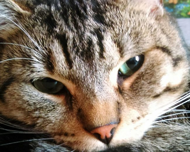 Pets Domestic Cat Domestic Animals One Animal Eye Animal ThemesMylovecat Selfiecat 🐱 Tranquility Nature Portrait Whisker Close-up Mammal Feline Looking At Camera No People Day Outdoors