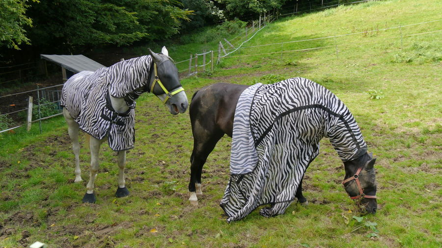 Hey!! You loose your cover!! Grass Outdoors Tree Nature Horses Zebra Look Funny Pic Hidden Fictitious Coating Domestic Animals EyeEm Best Shots - Nature EyeEm Gallery Taking Photos EyeEm Nature Lover EyeEm Selects Covering Camouflage Clothing Protection For Flies Fly Protection Fictious