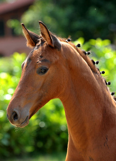 Hanoverian foal Animal Animal Head  Animal Themes Bokeh Breeding Brown Buckskin Close-up Competition Day Domestic Animals Equestrian Equine Farm Foal Foal And Mare Focus On Foreground Horse Mammal Nature No People One Animal Outdoors Portrait Summer