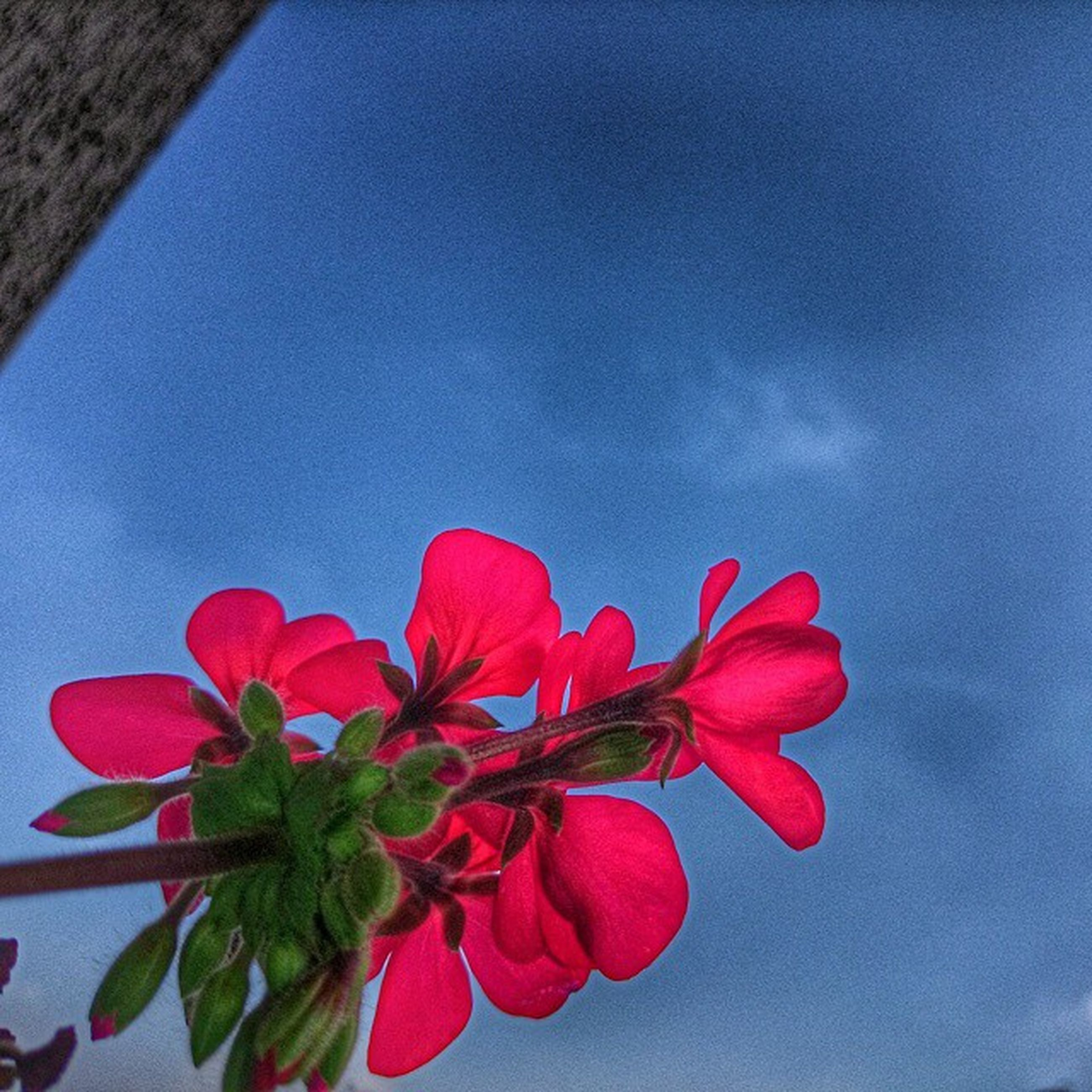 flower, freshness, petal, fragility, red, beauty in nature, growth, low angle view, flower head, sky, blue, nature, pink color, blooming, plant, close-up, stem, in bloom, no people, blossom