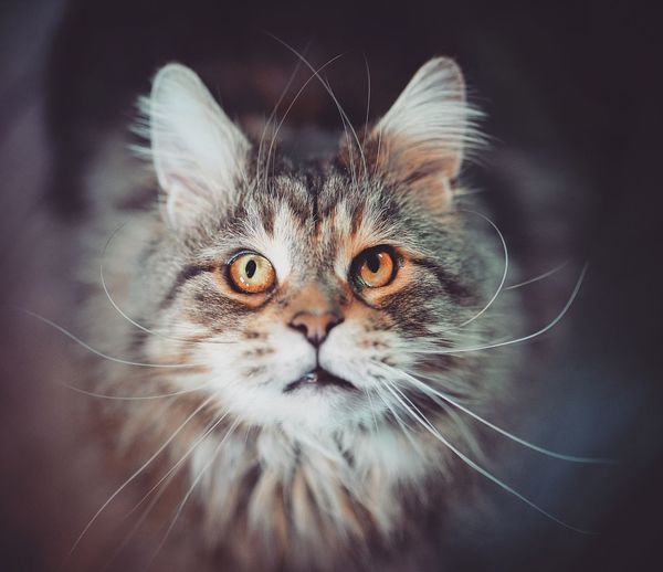 Look into my eyes 👀 Mainecoon EyeEm Selects One Animal Animal Animal Themes Cat Mammal Pets Domestic Cat Feline Domestic Domestic Animals Close-up Whisker Vertebrate Looking At Camera Portrait No People Indoors  Animal Body Part Animal Wildlife Animal Head