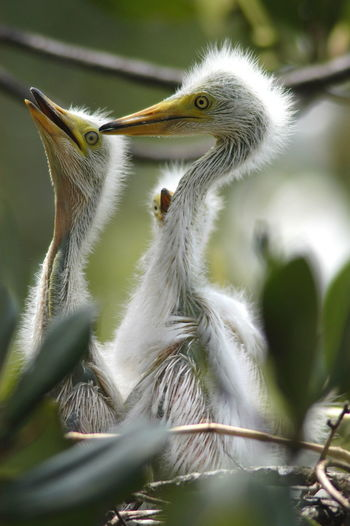 Close-up of young great egrets