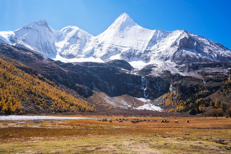 Mountain Snow Cold Temperature Winter Environment Landscape Beauty In Nature Scenics - Nature Mammal Livestock Nature Animal Animal Themes Sky Mountain Range Domestic Animals Land Group Of Animals Field No People Snowcapped Mountain Mountain Peak Herbivorous China Yadin, Sichuan