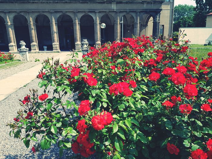Roses Springtime Architecture Flower Flower Head Red Architectural Column Architecture Built Structure Close-up Historic Civilization Building Exterior