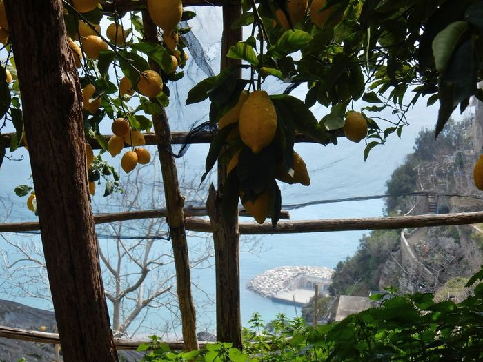 Amalfi Coast Orange Ripe Outdoors Fruit Tree Plant Part Wellbeing Leaf Freshness Tree Trunk Trunk Hanging Day Branch No People Nature Growth Food And Drink Healthy Eating Food Fruit Plant Tree Path Of Lemons