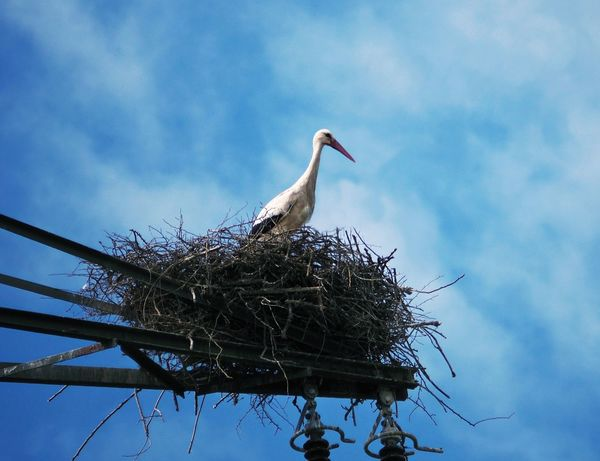Animal Nest Animal Themes Animal Wildlife Animals In The Wild Bird Bird Nest Day Low Angle View Nature No People One Animal Outdoors Perching Sky Stork White Stork