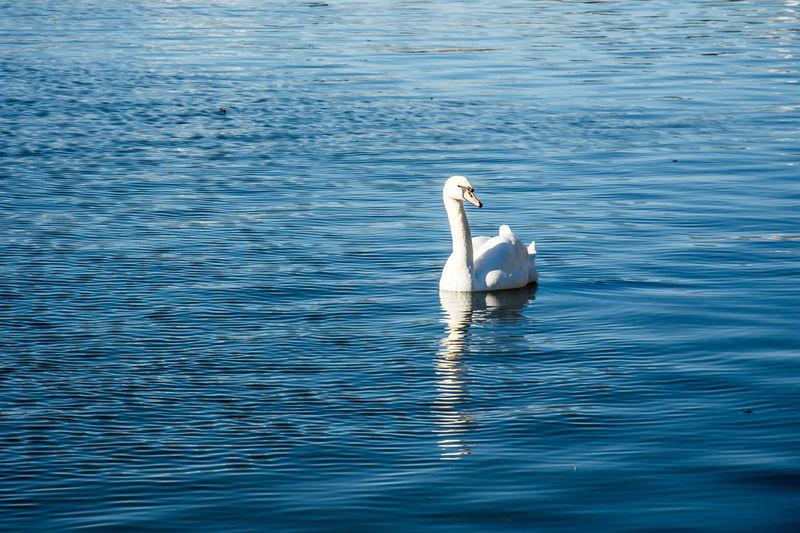 Swans Swans Swimming Animal Themes Animal Wildlife Animals In The Wild Beautiful Swan Bird Day Lake Nature No People One Animal Outdoors Swan Swan Swimming On Lake. Swans On The Lake Swimming Water Water Bird