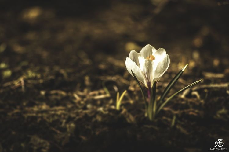 Beauty In Nature Flower Growth Fragility Nature Petal Freshness Flower Head Close-up Field Plant No People Outdoors Day Crocus