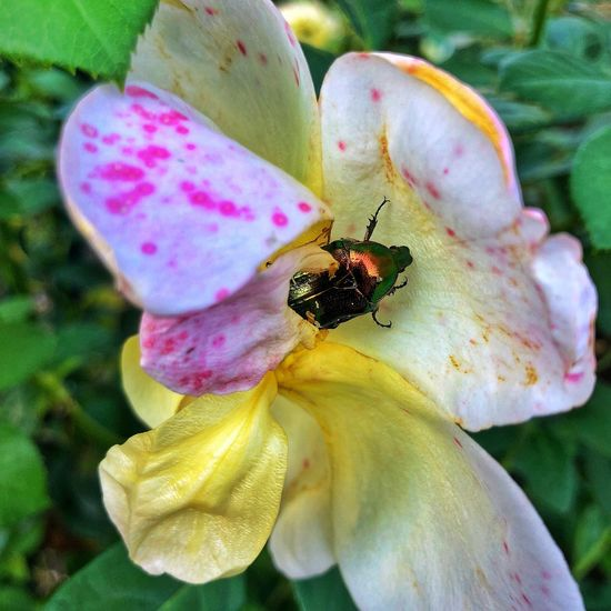 Rose - Flower Insect
