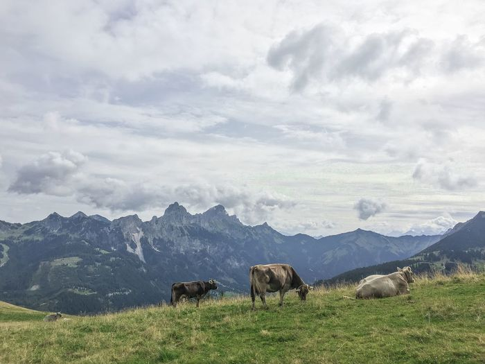 German Animal Themes Animal Wildlife Animals In The Wild Beauty In Nature Cloud - Sky Cow Cows Day Domestic Animals Field Grass Grazing Landscape Livestock Mammal Mountain Mountain Range Nature No People Outdoors Scenics Sky