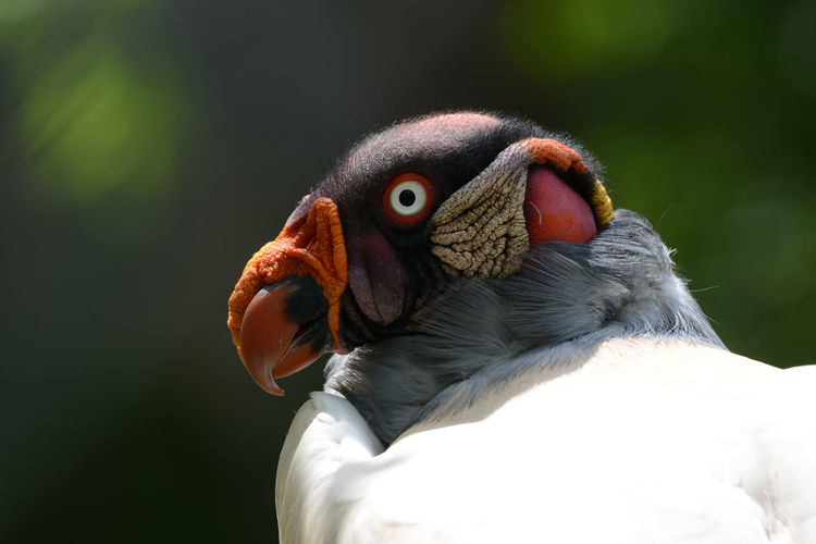 Close-up of king vulture outdoors
