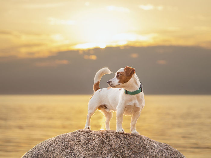 Dog standing on rock against sea during sunset