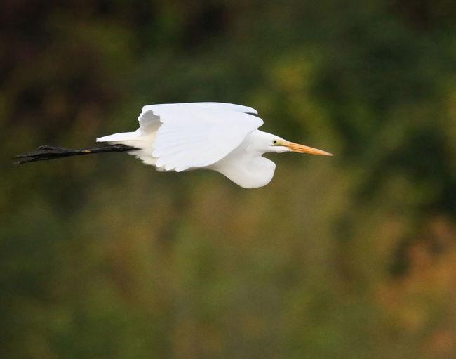 Egret Bird One