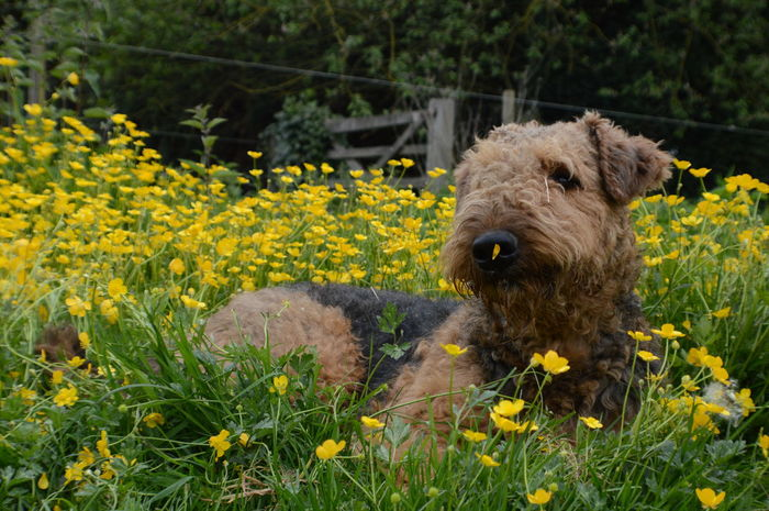 Airedale Beatifull Field Flower No People Yellow Service Animals Service Dog