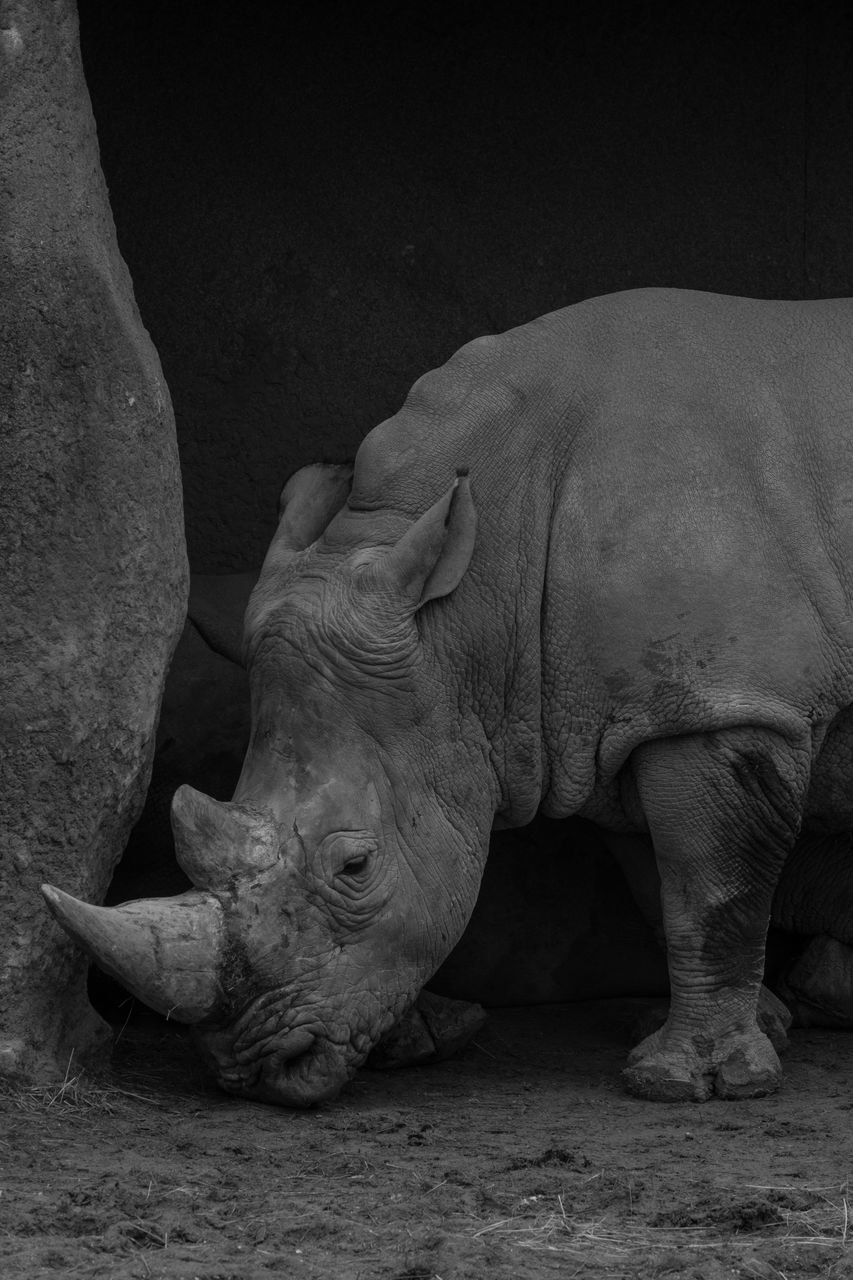 animal, mammal, animal themes, one animal, animal wildlife, rhinoceros, vertebrate, no people, animals in the wild, relaxation, day, animals in captivity, nature, domestic animals, zoo, close-up, outdoors, side view, field, animal head, herbivorous