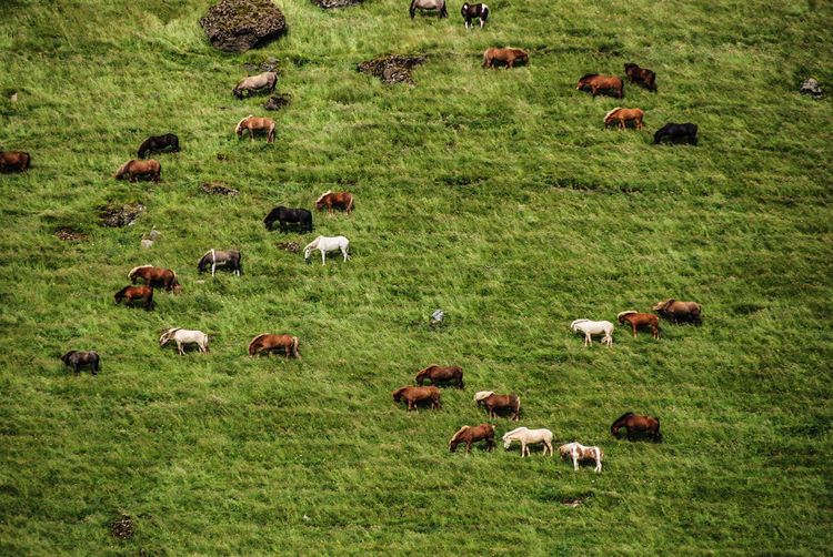 Horse Iceland Agriculture Animal Animal Themes Bird Day Domestic Animals Field Flamingo Flock Of Sheep Grass Grazing Herd High Angle View Landscape Large Group Of Animals Livestock Mammal Nature No People Outdoors Pasture Rural Scene