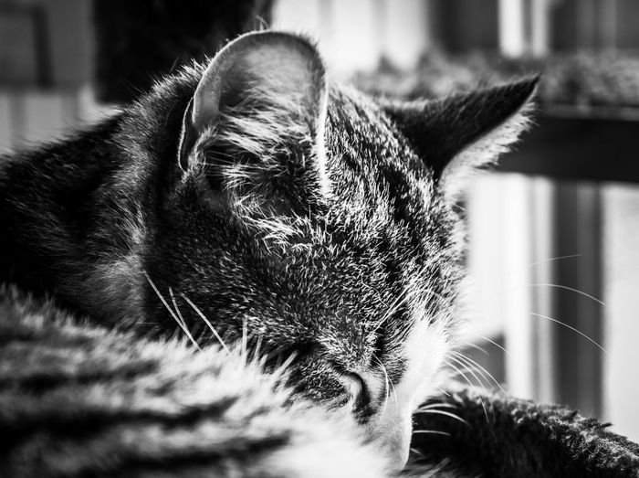 Sleep soft Portrait Whiskers Fur Face Travel Photography Travel Destination Travel DSLR Canon Cat Nap Sleep Peaceful Soft Feline Animal Animal Themes One Animal Mammal Close-up Domestic Animals Pets Day Focus On Foreground No People Nature