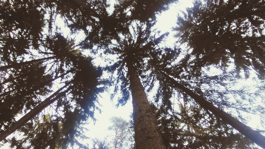 Sky High Trees Wilderness of Nature Centuries Old Stand Tall Pointofview Hikingadventures Naturelovers