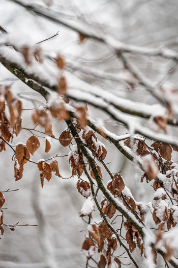 Close-up of dry leaves on snow covered tree