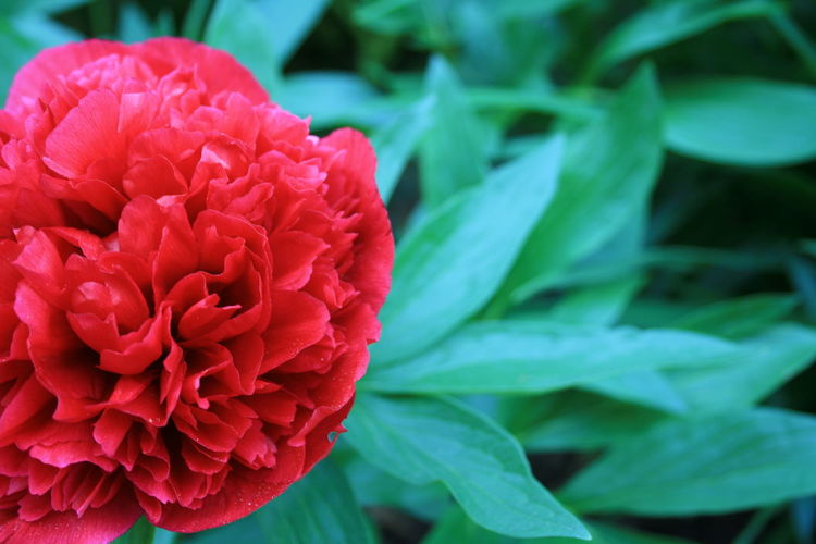 Red Color Peony
