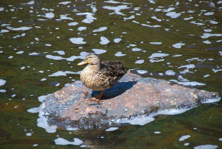Cramond Edinburgh Scotland Bird Water Close-up Duck