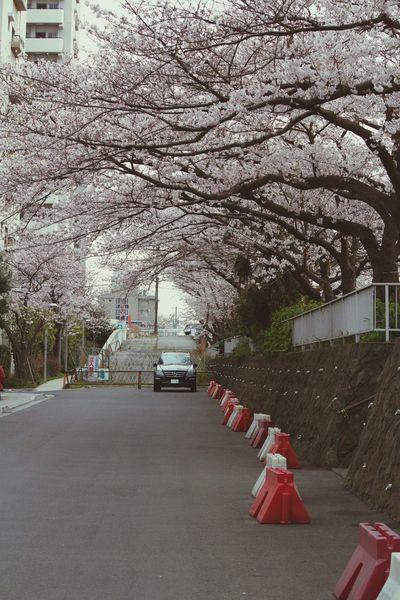 Urban Spring Fever Cherry Blossoms Sakura2016 Urban Exploration Nature Photography Long Road Car Depth Of Field Depth Of Focus Mercedes Beautiful Cherry Blossom Japan Photography