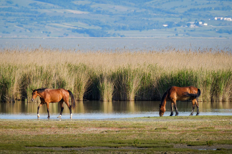 Horses Grazing On Landscape Against Sea