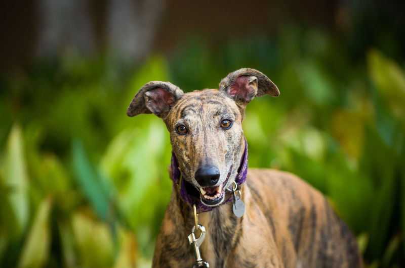 Greyhound dog outdoor portrait Animals In The Wild Dogs Animal Animal Head  Animal Themes Canine Day Dog Domestic Focus On Foreground Greyhound Hound Looking At Camera No People One Animal Pets Portrait Purebred Dog