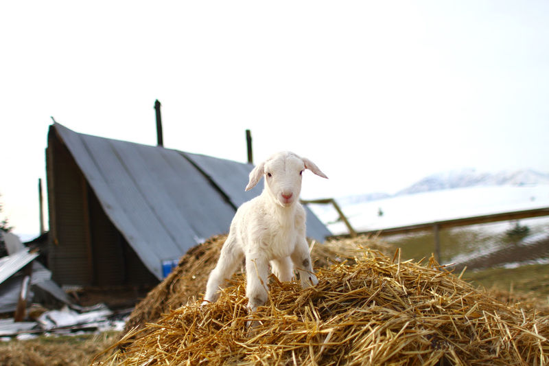 Farm Farm Life Growth Lamb Life New Born Winter Animal Themes Barn Cute Hay King Of The World Little Little Lamb Livestock Mammal Nature New Zealand No People One Animal Outdoors Sheep Strong White Young Animal Pet Portraits