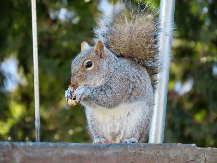 Squirrel perched atop a wooden railing eating a peanut closeup focus on the foreground animal themes EyeEm nature lover Animal Wildlife One Animal Rodent Outdoors No People