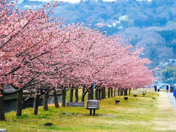 🌸 Tree Cherry Blossom Sakura 河津桜 桜 Flower Flowers Flower Photography Nature Beauty In Nature Nature Beauty In Nature Pink Color Outdoors Scenics Day Grass Olympus Shizuoka Japan Feb 18,2017 Amazing Shizuoka M.ZUIKO DIGITAL