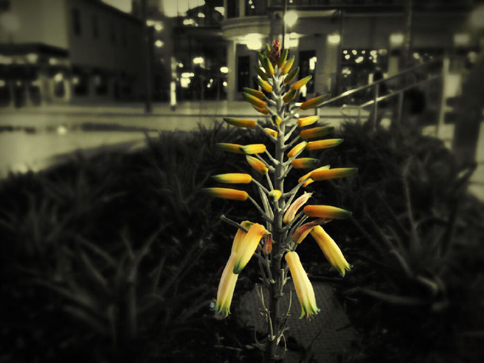 Close-up of yellow flowers blooming at night