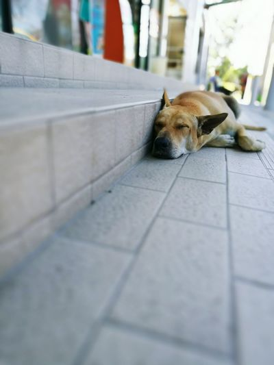 """""""Dog sleeping on the steps"""" One Animal Dog Steps Animal Themes Step Stairs Dog Sleeping  Sleeping Sleep Sleeping Dog Animal Day No People Dog Life Nap Sleepy Relax❤️ Dreaming Relaxing Moments Relaxation Relax Time  Relaxing Time Dream Lazyday Lazy"""