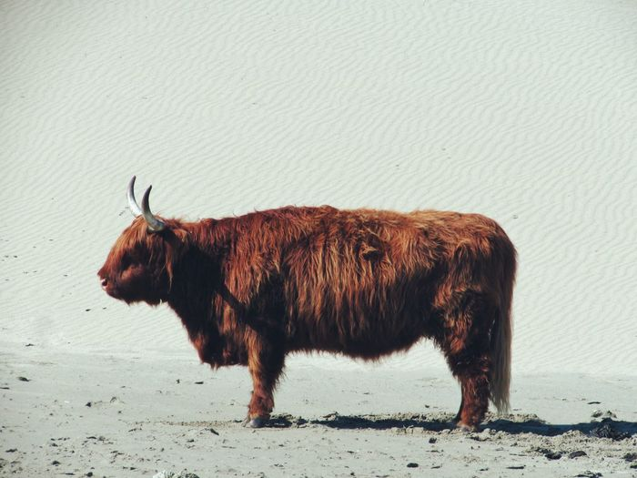 One Animal Animal Themes Mammal American Bison Animal Wildlife No People Standing Nature Highland Cattle Outdoors Day