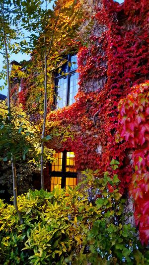 England🇬🇧 Oxfordshire Nature Window Plant Oxford Light And Shadow Growth Tree Day Leaf Outdoors Built Structure Architecture Change No People Ivy Flower Beauty In Nature Autumn Building Exterior Low Angle View Fragility Close-up