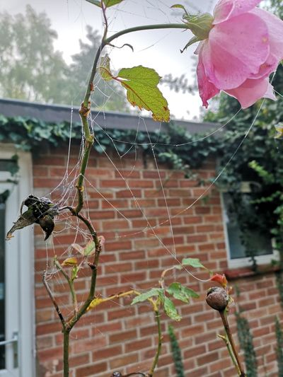 Foggy Morning Fresh Late Flowering Survival Cold Autumn Hanging Flower Close-up Web Spider Web Water Drop Droplet Arachnid Blooming Dew Growing