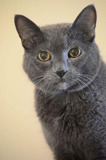 Close-up portrait of cat against beige background
