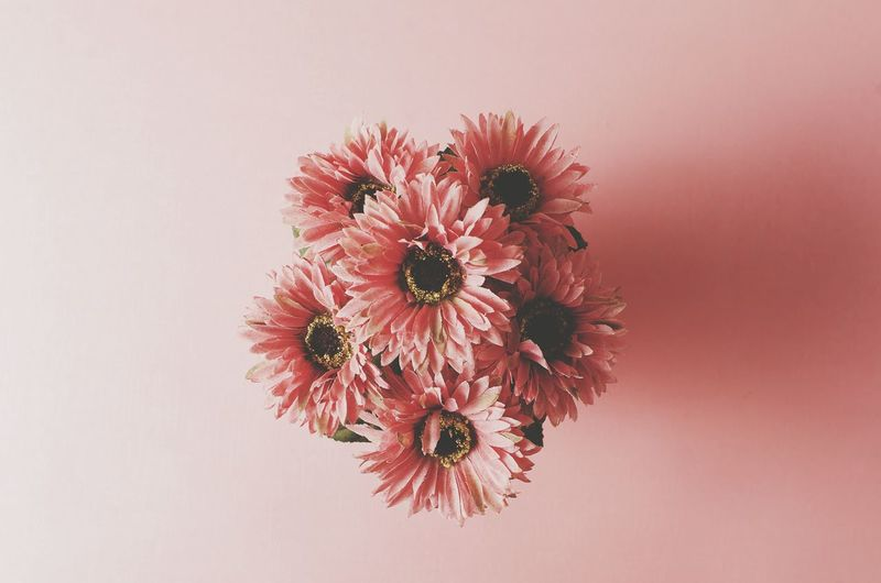 View of pink gerberas against pink background