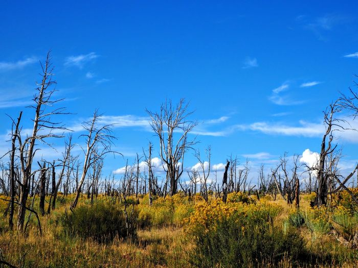 Ruins of a forest fire Nature Plant Sky Outdoors Landscape No People Tree Mesa Verde National Park National Park Service Clear Sky National Park Colorado Fire Forest Fire Vacation Hike The Week On EyeEm Lost In The Landscape