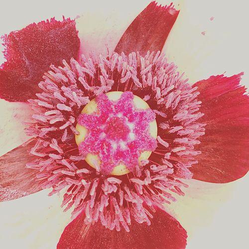 #Papaverorientalis# Petal Flower Head Freshness Fragility first eyeem photo