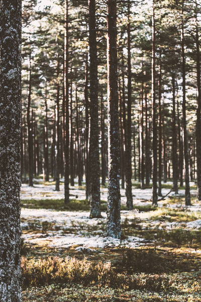 Pines Beauty In Nature Forest Hökensås Nature Non-urban Scene Pine Pinus Sylvestris Tranquil Scene Tranquility Tree Tree Area Tree Trunk WoodLand