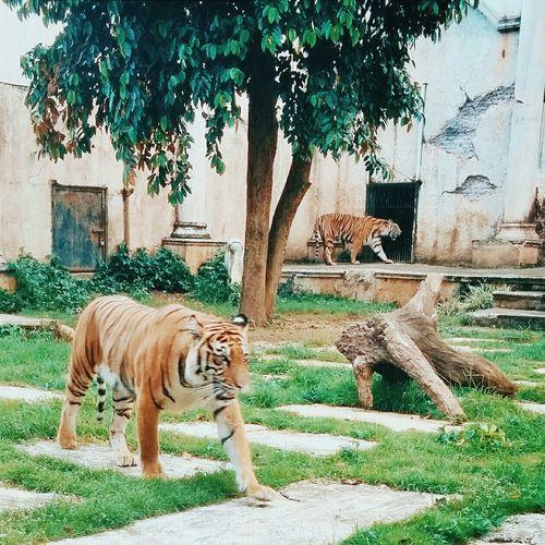 panthera tigris Animals EyeEm Best Edits Tadaa Community Vscocam Mobilephotography EyeEm Best Shots EyeEm Animal Lover Animals Tiger