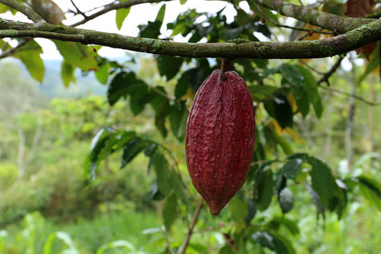 Cacao Tree - Theobroma cacao - Organic cocoa fruit Agriculture Cacao Beans Cacao Pods Green Color Tropical Fruits Branch Cacao Cacao Farm Cacao Fruit Cacao Nut Cacao Plant Cacao Tree Cacaolat Close-up Cocoa Fruit Fruitporn Growth Nature No People Outdoors Plant Red Tree Tropical
